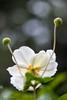2017 Japanese anemone #1 (Yorkey&Rin) Tags: 10月 2017 autumn em5 inmygarden japan japaneseanemone kanagawa kawasaki macro october olympus olympusm60mmf28macro rin ua177304 シュウメイギク マクロ 秋 庭