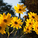 yellow - in Explore (t s george) Tags: yellow flower flowers daisies fall warm windsorvt canon5dmarkii