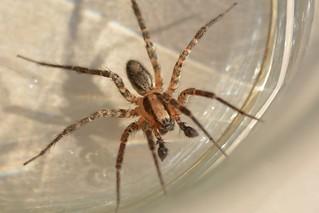 Wolf Spider (Lycosidae) aka Sink Spider, a male