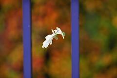 Autumn (stellagrimsdale) Tags: autumn leaf orange gate web fence hff