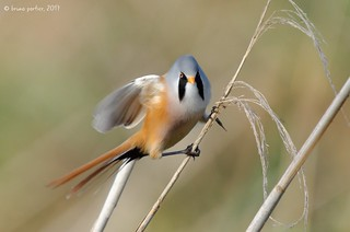 Bearded Reedling (Tit) - Panure à moustaches (Panurus biarmicus)