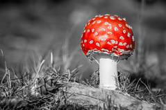 Mushroom-Fly Amanita (Roberto Braam) Tags: flyamanita flyagaric mushroom nature red outdoor landscape lsd vliegenzwam amanita rode paddenstoel muscaria poison poisonous paddestoel fungus europe forrest alkaloid toadstool natuur autumn hallucinogenic muscarine thenetherlands