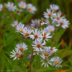 Sea Aster (ExeDave) Tags: p9105997 sea aster tripolium dawlishwarren national naturereserve nnr nr devon sw england gb uk plant flora flower wildflower composite asteraceae compositae nature lowland coastal wet grassland september 2017 purple lilac squarecrop