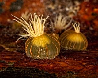 Orange-striped anemone (Diadumene lineata)