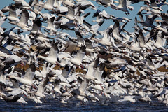 Flight of the Snow Geese (jchowaniec) Tags: bird birds nature wildlife animals canada migration snowgeese geese goose snowgoose alberta white