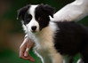 'Holding on to Hope' (Jonathan Casey) Tags: puppy border collie d810 nikon 200mm f2 vr