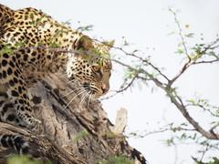 PA012297 Leopard (Joanna P Dale) Tags: kgalagaditransfrontierpark tweerivieren olympus omdem1mkii panasonic100400 africanleopard leopard