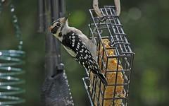 Downy Woodpecker male_26Sep2017 (Bob Vuxinic) Tags: bird downywoodpecker picoidespubescens male suetfeeder cumberlandplateau crossvilletn 26sep2017