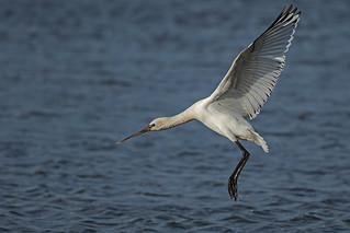 Spoonbill - Rarer than you think!
