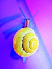 """Speedy Spiral""...  Macro Monday: Spiral (seanwalsh4) Tags: smallyellowgardensnail 15mminlength 05inch macromondays fauna speedyspiral fun hmm spiral"