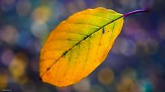 The Tree leaf (YᗩSᗰIᘉᗴ HᗴᘉS +10 000 000 thx❀) Tags: leaf feuille autumn automne bokeh bokehlicious beyondbokeh yellow season hensyasmine