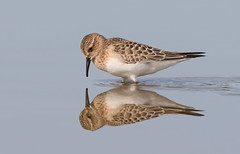 Baird,s Sandpiper (mandokid1) Tags: canon ef400mmdoii 1dx birds shorebirds