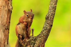 High perched (P & Y Photography) Tags: nature animal squirrel mammal american tree green bokeh brach forest canon 6d 100400 outdoor depthoffield