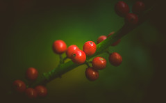 Holly berries (Dhina A) Tags: sony a7rii ilce7rm2 a7r2 kaleinar mc 100mm f28 kaleinar100mmf28 5n m42 nikonf russian ussr soviet 6blades autumn holly berries