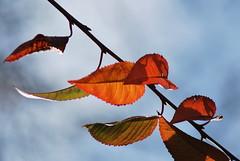 Feuilles d'automne (odile.cognard.guinot) Tags: cerisier automne