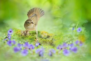 ~ Middendorff's Grasshopper-Warbler | 北煌鶯 ~