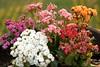 Flores Coloridas... (Bert'sPhotos) Tags: kalanchoe arranjofloral arranjodecalanchoes calanchoe flower flor flores arranjodeflor florescoloridas quintaflower
