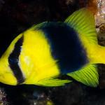 Doubleband Soapfish - Diploprion bifasciatum thumbnail