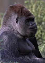 9891 Blijdorp Bokito (j@n2012) Tags: blijdorpzoo bokito gorilla anthropoidape mensaap