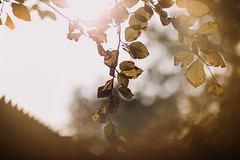 Fall, coming with lot's of bokeh! (linda.richtersz) Tags: canon eos 6dm2 meyer optik gorlitz orestor 135mm f28 vintage lens fall bokeh sun flare