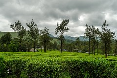 Valparai Worked-1-29 (RR Fotography) Tags: cloudy trees teaestate leaves tea estate india southindia tamilnadu tn photography rrphotography hillside moutainside mouintains scenery