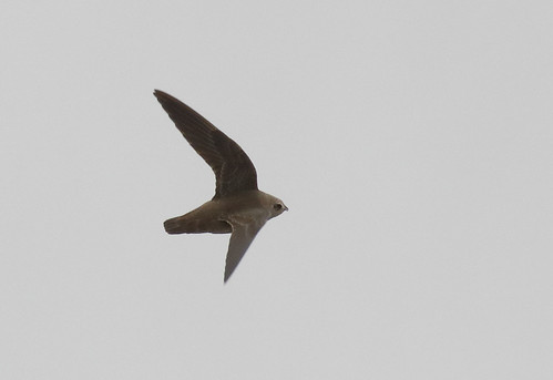 Great Dusky Swift_17-09-17_Cypseloides senex