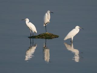 Little egret / Seidenreiher (Egretta garzetta)