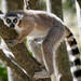 Ring-tailed Lemur - what are you looking at
