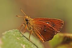 Lambrix salsala - the Chestnut Bob (BugsAlive) Tags: butterfly mariposa papillon farfalla schmetterling бабочка conbướm ผีเสื้อ animal outdoor insects insect lepidoptera macro nature hesperiidae lambrixsalsala chestnutbob hesperiinae wildlife chiangrai liveinsects thailand thailandbutterflies ผีเสื้อจิ๋วหนอนมะพร้าว