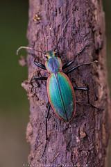 Escarabajo Peorro (Ceroglossus chilensis latemarginatus) (Claudio González R.) Tags: escarabajo peorro ceroglossus macro tokina nikon d750 flash difusor background 100mm diafragm dof stack zerene