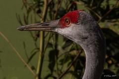 IMG_2029 sandhill crane (starc283) Tags: starc283 sandhillcranes wildlife flickr flicker canon canon7d cranes outdoors outdoor nature naturesfinest