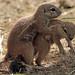 african groundsquirrel Blijdorp BB2A9519