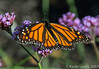 The First time ever I saw your face (keithhull) Tags: monarch monarchbutterfly butterfly portland maine unitedstates