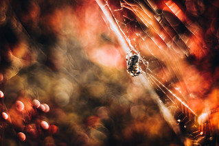 red_tree_spider