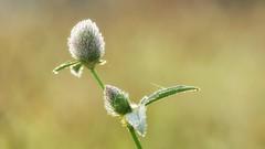 *** (pszcz9) Tags: przyroda nature natura zbliżenie closeup rosa dew dewdrop kropla bokeh beautifulearth sony a77
