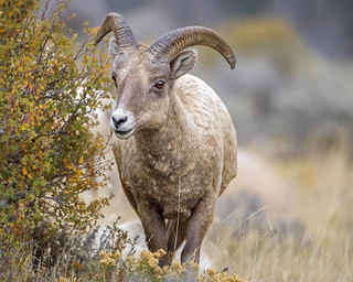 Young Ram...