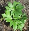 ** Feuillage ** (Impatience_1 (peu...ou moins présente...)) Tags: feuillage foliage plante plant hellébore m impatience saveearth supershot coth coth5 alittlebeauty sunrays5 abigfave