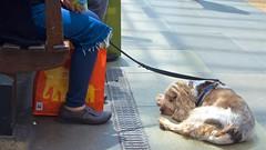 Doggie nap (Andy Burton Oz) Tags: nikond7200 flickrexport kensingtonhighstreet electrictrain uk england unitedkingdom undergroundstation andyburton londonunderground royalboroughofkensingtonandchelsea andyburtonoz train burtonandy 2017 aperture36 tubestation afsdxzoomnikkor1855mmf3556gedii spaniel