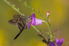 Long-tailed Skipper (stephaniepluscht) Tags: alabama 2017 gulf state park butterfly butterflies longtailed skipper long tail tailed false foxglove