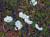 Flowers! (maginoz1) Tags: flowers white abstract foliage contemporaryart manipulate curves bullarosememorialgarden spring october 2017 bulla melbourne victoria australia canon g16