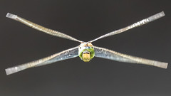 x wing fighter (from starwars) (I was blind now I see!) Tags: dragonfly dragonflies inflight insect insects wings flying flyinginsect movement motion xwing head eyes nature mothernature