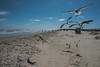Seagulls - Mustang Island State Park - Nueces County - Texas - 25 February 2017 (goatlockerguns) Tags: beach mustang island state park nueces county texas seagulls padreisland nature natural usa unitedstatesofamerica south southern gulfofmexico coast coastal