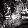 FIER (Olivier FERQUIN) Tags: coq cock monochrome proud fier forest farm ferme bw noiretblanc blackandwhite