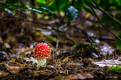 Red - (Helios 44-2) - 2017-10-01st (colin.mair) Tags: 442 red mushroom amanitamuscaria sony ilce6000 autumn whinfell centreparcs 58mm helios lens m42 manual russian ussr helios442