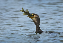 Cormorant - Main course is served (Ann and Chris) Tags: avian amazing bird beak cormorant fish fishing big feeding nature outdoors wildlife wild water waterbird eating swallowing food