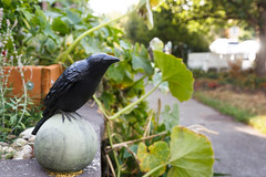 266/365 the crow