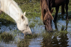 """""""Chincoteague Ponies"""" (Photography by Sharon Farrell) Tags: saltwaterponytours chincoteagueponies chincoteaguepony assateaguehorses assateaguehorse wildhorses wildponies wildhorsesofassateague wildponiesofchincoteague saltmarshponies saltmarshwildlife chincoteague chincoteaguevirginia assateague assateaguevirginia chincoteagueisland assateagueisland chincoteaguechannel lagalga bandofhorses mistyofchincoteague chincoteaguenationalwildliferefuse reflections"""