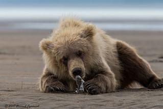 Spring Bear cub enjoying a clam - IMG_3242-1
