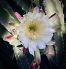 Unusual cereus cultivar (Pete Tillman) Tags: cereus lotusland