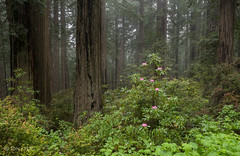 150601Damnation1.jpg (stevehillphotos) Tags: spring rhododendren summer atmosphericsandlight usa tree plants coastredwood redwoods california seasons fog sunset weather places naturalitems